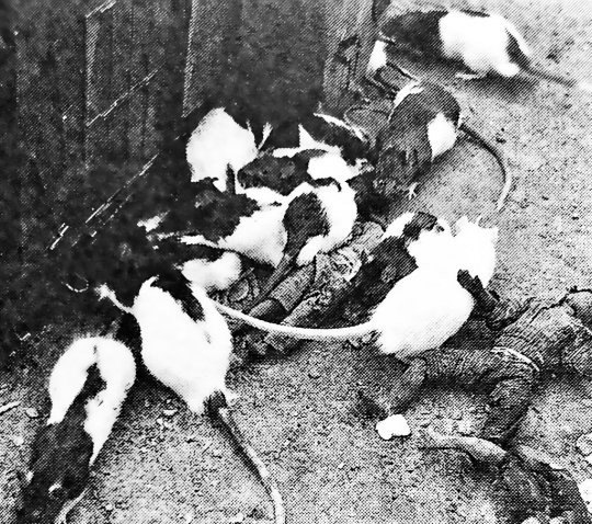 大映電影《大群獸嚙吱拉》中的老鼠。