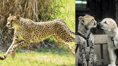 奠定獵豹成為現今陸生生物奔跑速度最快生物的莎拉小姐。
