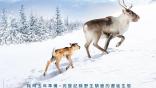 聖誕老公公的馴鹿怎麼來的?紀錄片《鹿兒流浪記》跟著小馴鹿艾洛,見證芬蘭馴鹿的野生遷徙生態!
