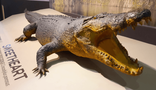 鱷魚電影《黑水》與《兇鱷》參考了 70 年代澳洲「甜水」沼澤的鱷魚「甜心」的故事拍攝而成。