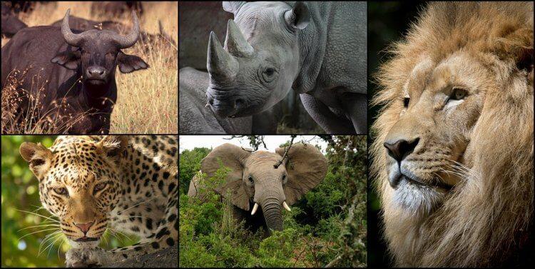 非洲五霸是指獅子、非洲象、非洲水牛、豹和黑犀牛這五種非洲動物,他們極為危險,卻也因為過度被獵殺而數量稀少。
