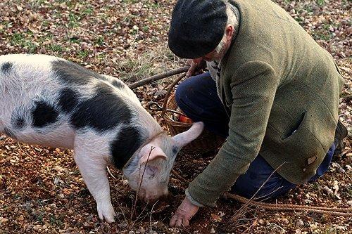 豬天生對松露的氣味敏感,可以用來找尋松露。