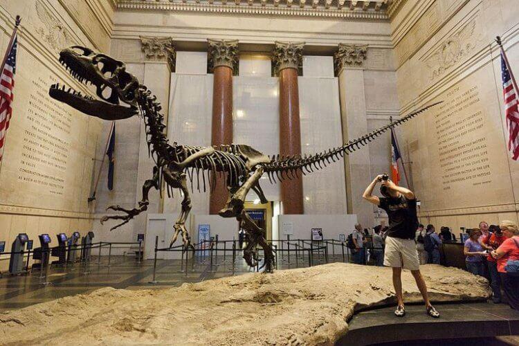 收藏於美國自然博物館裡的異特龍化石。