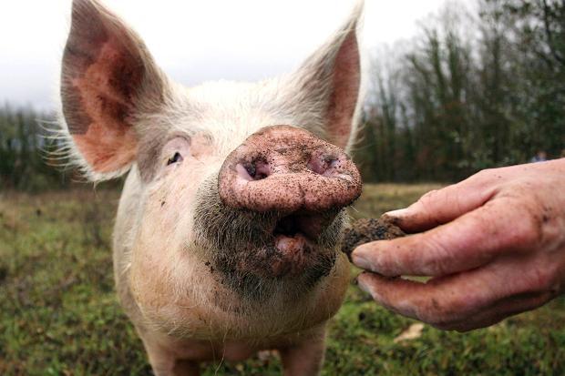 尼可拉斯凱吉主演的新電影《豬》,敘述松露獵人因為他的豬被偷走而踏上復仇之旅。